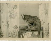 1950s Shy Kitty Cat Sitting at Curtained Window -  snapshot 760