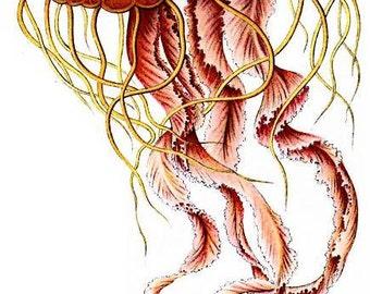 Digital PNG Files Four Medusae Jellyfish Haeckel Discomedusae  Red Blue Yellow Digital Fussy Cutting