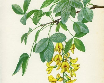 Vintage Tree Print, Common Laburnum, Botanical  Book Plate 107, Ornamental, Nature, Landscape, Frameable Art, 1969, Choc