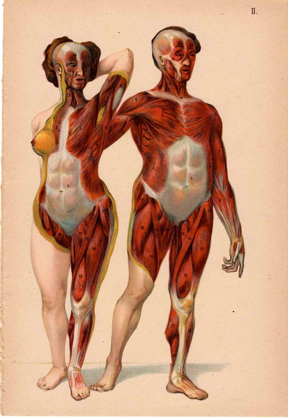 1921 human muscle anatomy man and woman original antique, Muscles