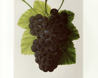 Concord Grapes Print by  Prestele Botanical Book Plate SALE~~Buy 3, get 1 Free or Buy 5, get 2 FREE