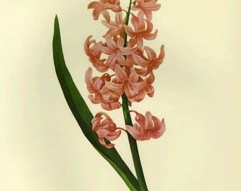 Hyacinthus Pink by Redoute Print Book Plate SALE~~Buy 3, get 1 Free or Buy 5, get 2 FREE