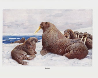 1940 Antique WALRUS print, a large flippered marine mammal, elephant seals in ice, original antique circa 100 years old print