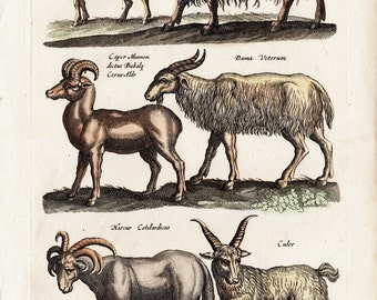 1657 Antique Merian GOAT engraving, GOATS, hand colored on handmade paper, original antique print 356 years old