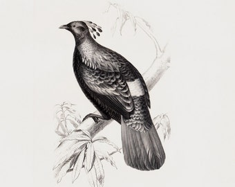 1849 Antique BIRD print engraving, vintage fowl print, White-backed Crested or Himalayan monal, elegant 164 years old print. black and white