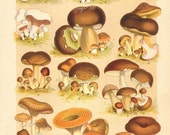 1901 Edible Mushrooms, Meadow Mushroom, Acker Champignon, Sweetbread Mushroom, Porcini, Suede Bolete, Birch Bolete Antique Chromolithograph