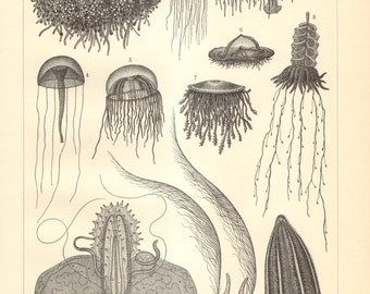 1904 Jellyfish, Sea Jellies, Siphonophorae, Ctenophora or Comb Jellies Original Antique Engraving to Frame