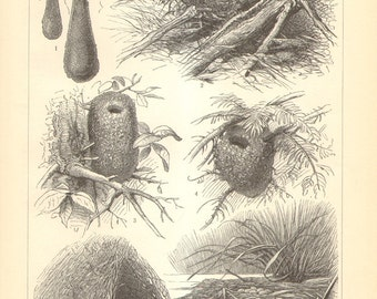 1905 Original Antique Engraving of Bird Nests