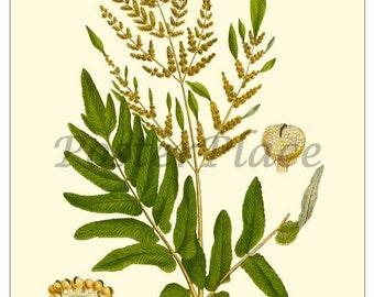 ART CARD - Botanical print reproduction - Royal Fern 509