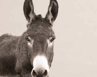 Donkey Portrait photo, farm photo, Animal photo, Nature photography - Portrait of a Donkey  - 8x8 fine art photograph