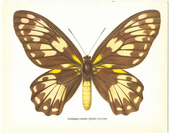 Vintage Butterfly Print  1960s Ornithoptera Victoriae Brown Butterfly    Vintage Butterfly Print