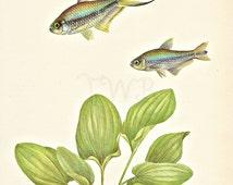 Fish Print, Aquarium Print, Natural History, Art Illustration to Frame, Book plate, Beach Decor, Aquarium Decor, Tetra, A-6