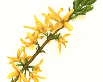 Forsythia Botanical Watercolour Print