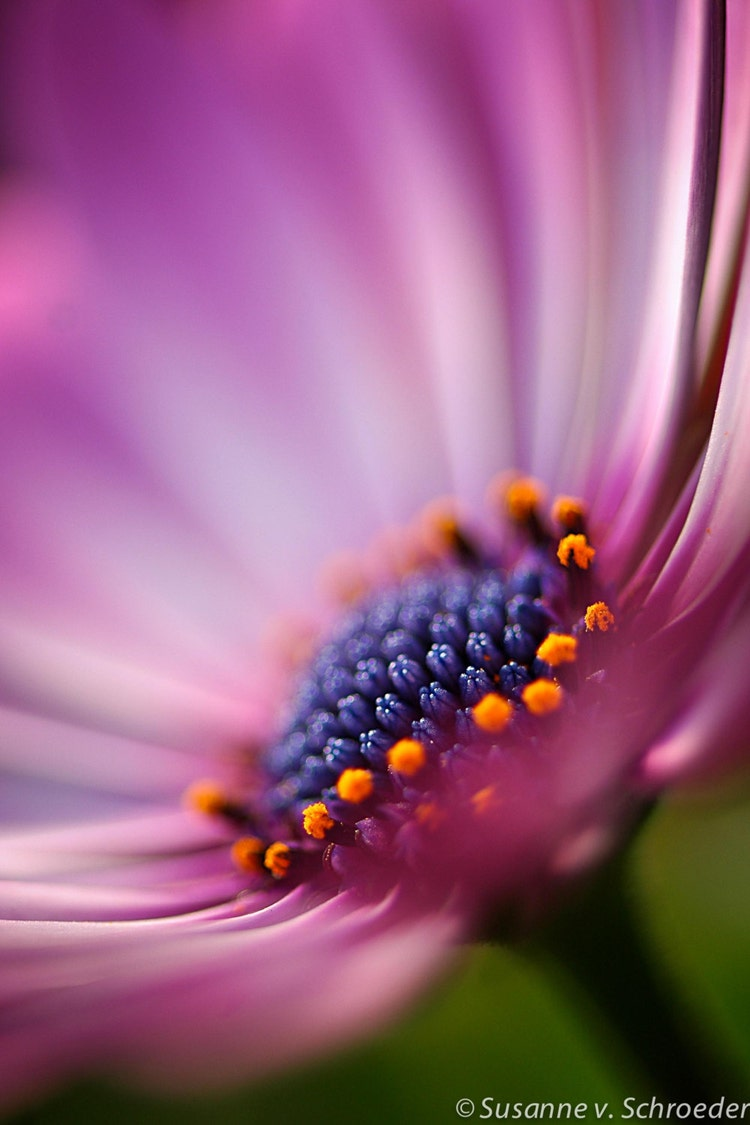 Nature Photography African Daisy Flower By