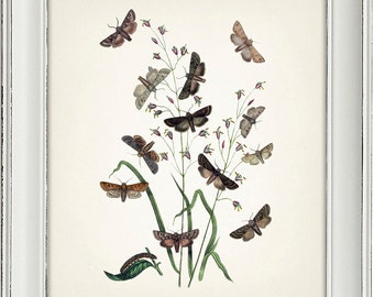 Moth Series no.4  - 8x10 - Fine art print of a vintage natural history antique illustration