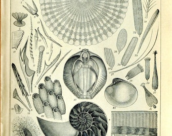 1897 Antique German Back to Back Engraving of Carapace / Turle Shell / Nautilus - N110