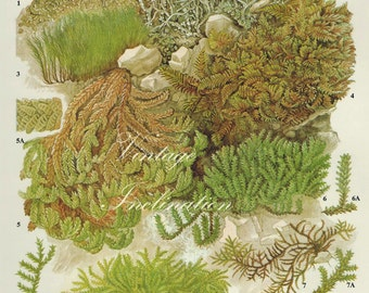 Vintage Antique MOSS and Lichens illustration, book page, book print, bookplate 45