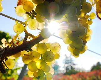 Wine Photograph, Wine Grapes Photo, Vineyard Photograph, Winery, Cellar, Napa,Old Mission, Sonoma, Photo, Tasting Room Art