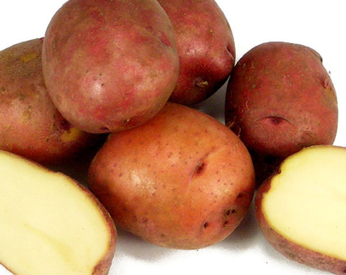 Red Pontiac Seed Potatoes 15 Lbs. Certified Organic Red Skinned - Spring Shipping Red Potatoes