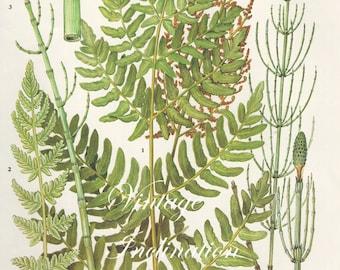 Vintage Antique FERNS illustration, book page, book print, bookplate 95