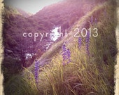 5x5 Fine Art Photograph - Wild Lupine -  Instagram photo