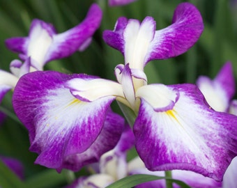 Photograph Japanese Iris 8 x 10 Flower