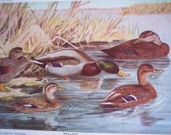 Vintage Bird print, 1936 Duck illustration by Fuertes, Mallard, Hooded Merganser, vintage wall art
