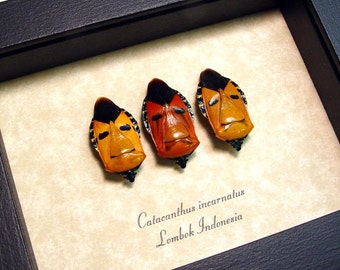 Real Framed Catacanthus incarnatus Man Face Beetle Set of 3 2220s
