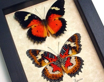 Real Framed Cethosia hypsea hypsina Red Malay Lacewing Butterfly Pair 8142