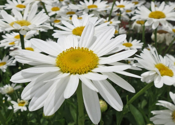 White Diasies-White Flower-Macro Flower-Fine Art Photography