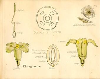 Oleaster, Antique Botanical Print, 1874, Plate 74, Natural History, Vegetable Kingdom, Hand Colored
