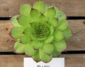 Pluto Sempervivum Plant, Hens and Chicks, Extremely Cold Hardy Succulent