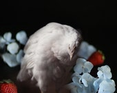Animal Photography White Hen Dutch Inspired Still Life with Chicken