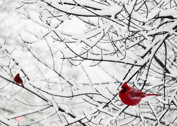 photograph of red birds on snow covered trees in the winter