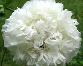 Poppy, White Cloud Poppy Seeds - Beautiful and Distinctive White Peony Poppy Perfect for All White Gardens and Cottage Gardens