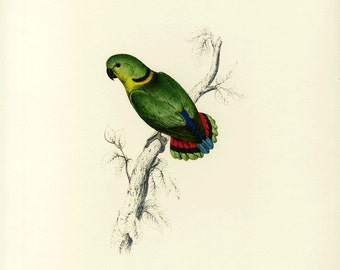 Parrot Swinderms Parrakeet Print by Edward Lear SALE Buy 3, get 1 FREE