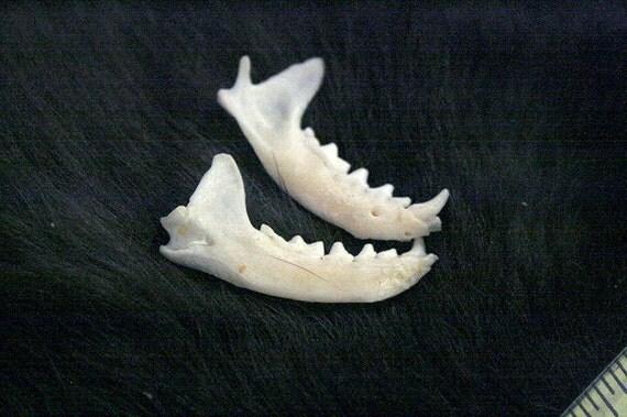 x2 Weasel Jaw Bones - Grade A, Real Bone, Teeth, Taxidermy, R306