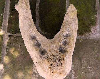fossilized jaw bone