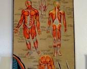 Antique Human Anatomy Poster, Indian School Chart