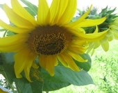 Summer Sunflowers Blank note card by Carla Garloff