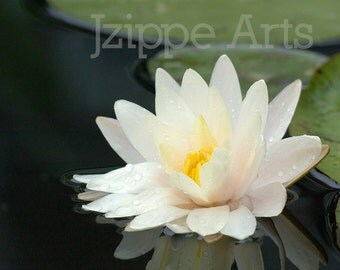 Water Lily Photography, Water Lily Print, White Water Lily, Flower Print, White Flower Art, 8x10