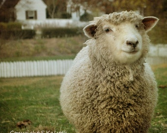 Country Sheep Photograph Cute Smiling Sheep White Pickett Fence Farm Animal Wall Decor 8x8