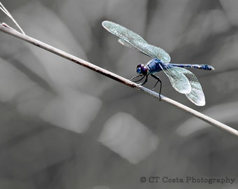 Dragonfly Fine Art Print, Blue, Gray, Dragonfly photography, Nature wall art, Office decor