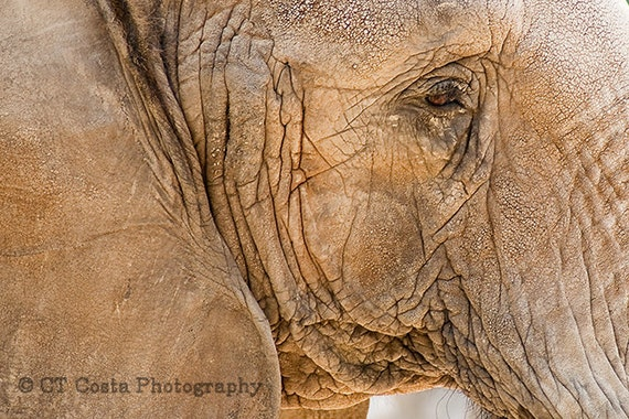 Elephant Photo Art, Wildlife Photography, gray, brown, Fine Art Elephant Print, Nature wall art