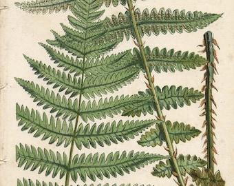 150 Year Old BOTANICAL CHROMOLITHOGRAPH Plate 10 Bladder Ferns Thomas Moore British Ferns 1859