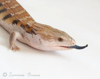 Reptile Photography - Lizard Photograph - Blue Tongue Skink - 8x10 Fine Art Photo Print