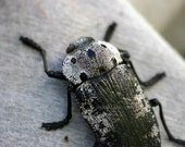 Bug photograph, scary insect print, nature fine art photography, spooky wall art decor, Silver bug