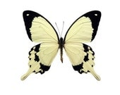 Real Butterfly Wings for crafting and art projects - Papilio Dardanus - Butterfly Wings, Butterfly Art, Butterfly Craft