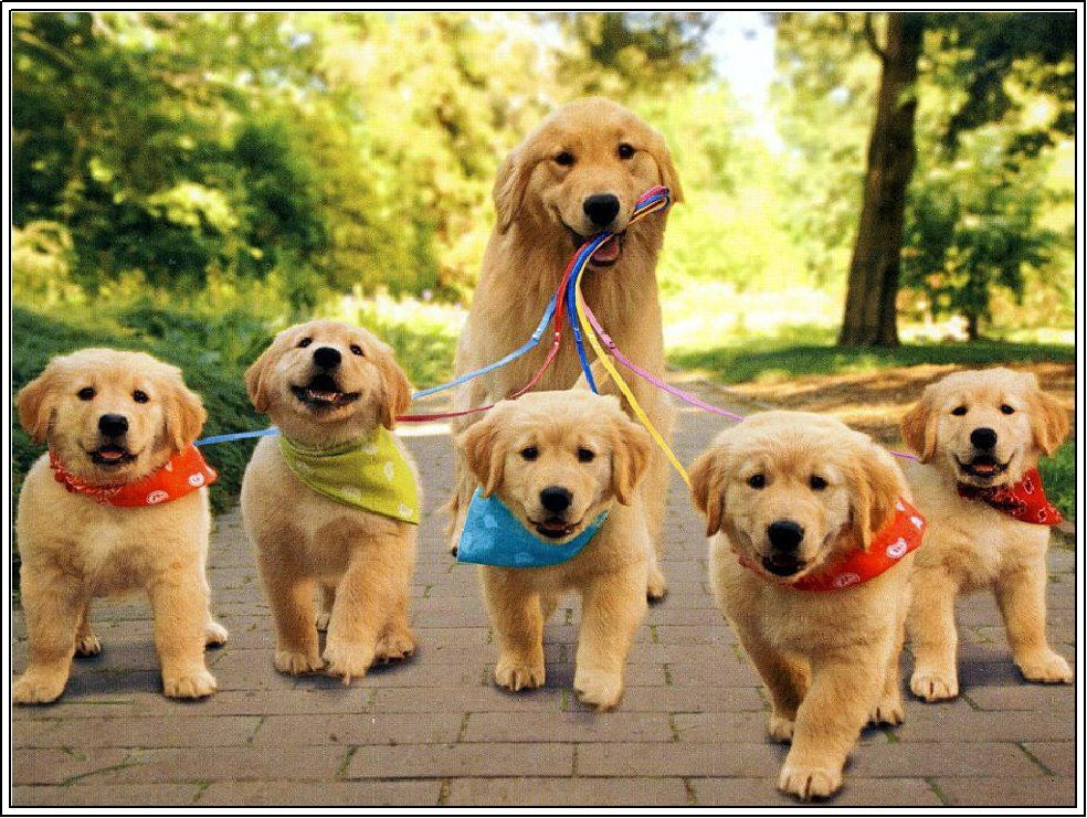 Female Golden Retriever Puppies For Sale