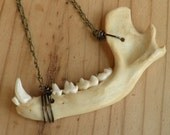 Raccoon Real Jawbone Necklace